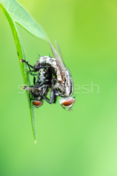 Flesh Fly mating Stock photo © Yongkiet