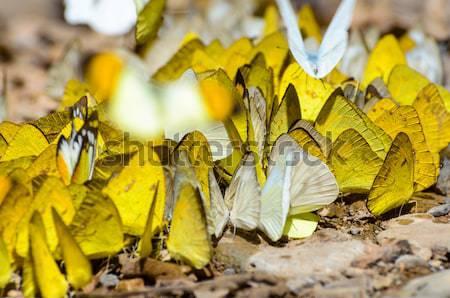 Grand groupe papillon sol herbe jaune Photo stock © Yongkiet