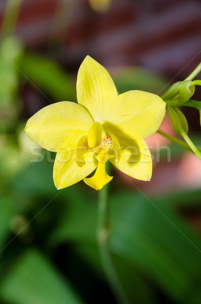 Zemin orkide çiçek güzel sarı çiçek ağaç Stok fotoğraf © Yongkiet