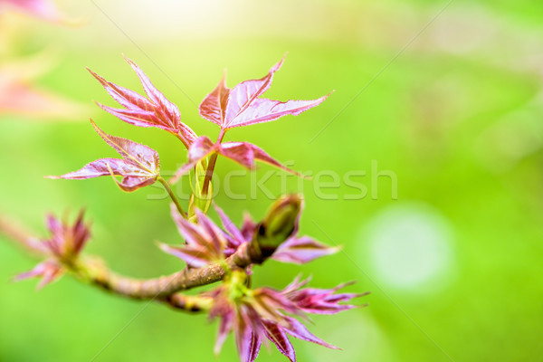 Red young leaves Maple in spring Stock photo © Yongkiet