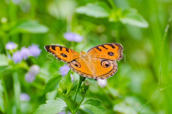 Tavuskuşu kelebek üst çalı çim turuncu Stok fotoğraf © Yongkiet