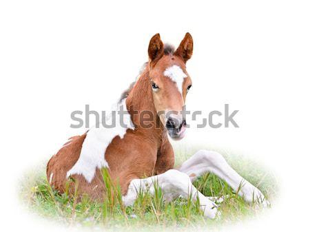 Ló csikó pihen fű izolált fehér ló Stock fotó © Yongkiet