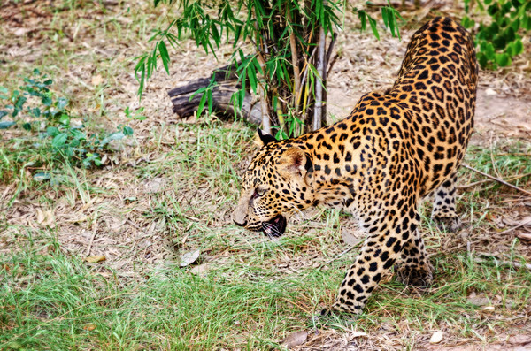 Leopard in the wild Stock photo © Yongkiet