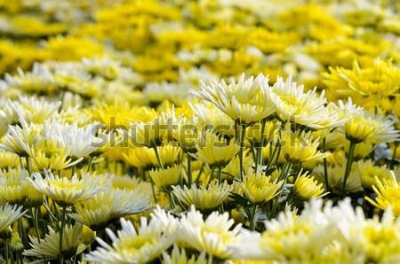Krizantem çiçekler çiftlik dağ doğa yaprak Stok fotoğraf © Yongkiet