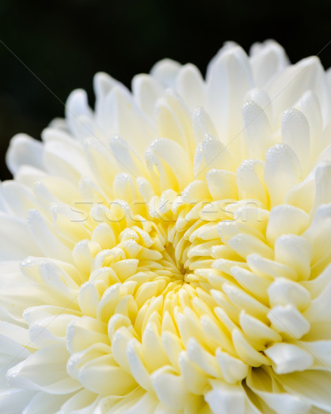 Close up white Chrysanthemum Morifolium flower Stock photo © Yongkiet