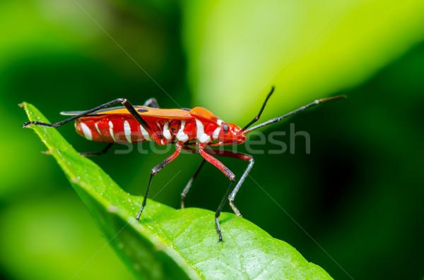 Red Cotton Bug (Dysdercus cingulatus) Stock photo © Yongkiet