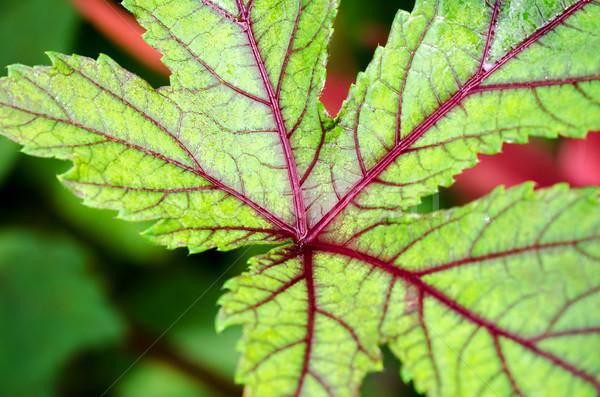 Textuur blad groene Rood Jamaica Stockfoto © Yongkiet