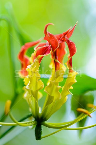 Gloriosa Superba or Climbing Lily flower Stock photo © Yongkiet