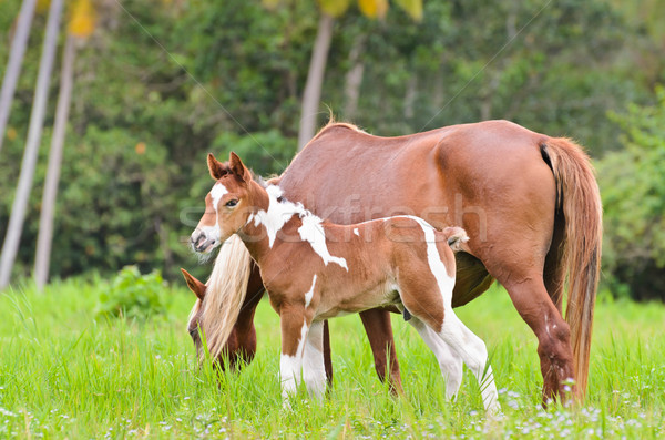 Mare and foal in a meadow Stock photo © Yongkiet