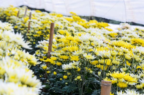 Krizantém virágok farm hegy természet levél Stock fotó © Yongkiet
