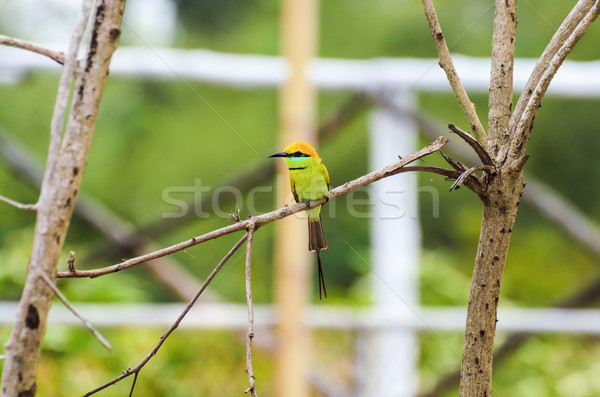 Little Green Bee Eater bird Stock photo © Yongkiet