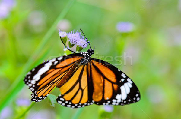 Close up Common Tiger or Danaus genutia butterfly Stock photo © Yongkiet