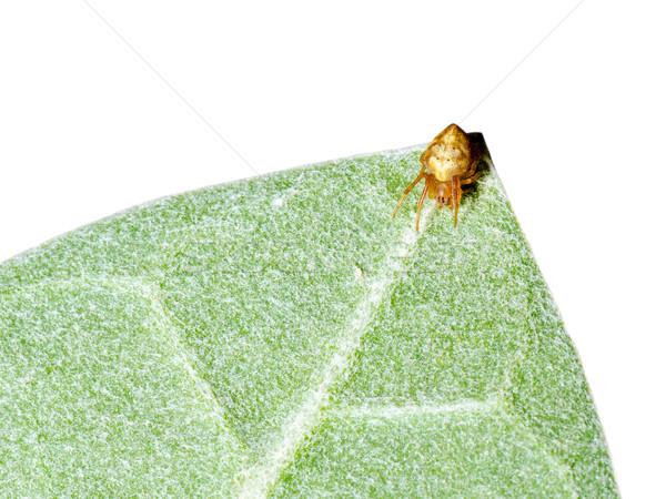 Springen spin groen blad witte natuur blad Stockfoto © Yongkiet