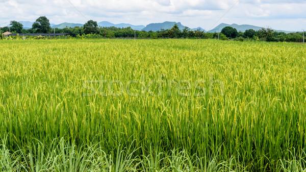 Verde arroz campos paisagem belo produzir Foto stock © Yongkiet