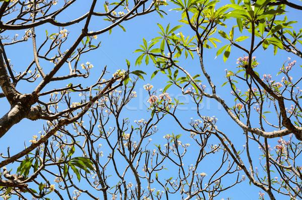 Frangipani ( Plumeria ) trees are blossom Stock photo © Yongkiet