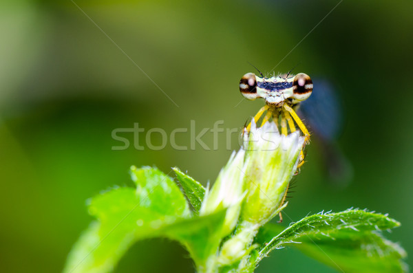 Eye of Damselfly  Stock photo © Yongkiet