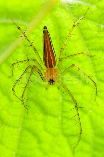 Foto d'archivio: Maschio · lince · spider · arancione · foglie · verdi · natura