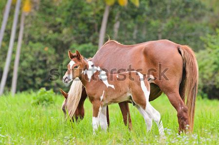 Brown foal suckling from mare Stock photo © Yongkiet
