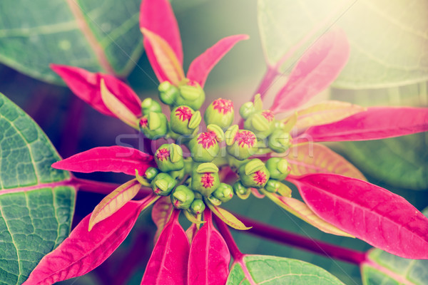 Vintage flower of Poinsettia Stock photo © Yongkiet