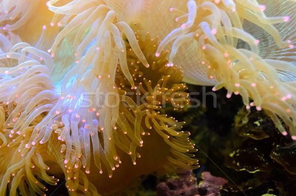 Organizmus tenger közelkép fehér rózsaszín borravaló Stock fotó © Yongkiet