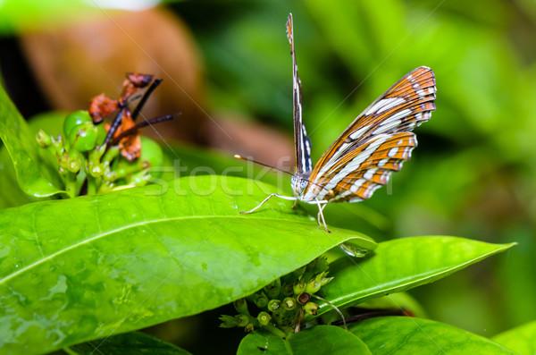 船乗り 蝶 葉 タイ 自然 ストックフォト © Yongkiet