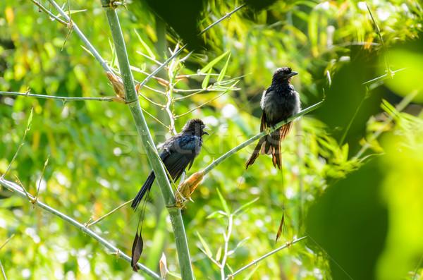 Fekete madarak fa napozás társ víz Stock fotó © Yongkiet