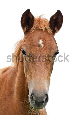 At kafa yalıtılmış beyaz ağız Stok fotoğraf © Yongkiet