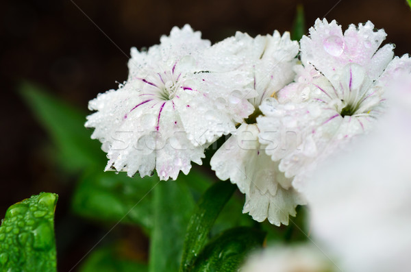 White Dianthus flowers filled with dew drops Stock photo © Yongkiet
