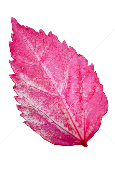 Pink leaf of the Hibiscus isolated on white Stock photo © Yongkiet