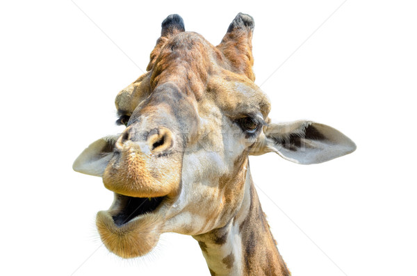 Giraffe (Giraffa camelopardalis) isolated on white Stock photo © Yongkiet