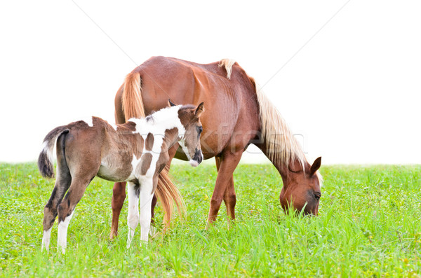 Brown mare and foal isolated on white Stock photo © Yongkiet