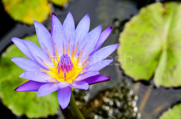 Purple Lotus flower ( Nymphaea Nouchali ) Stock photo © Yongkiet