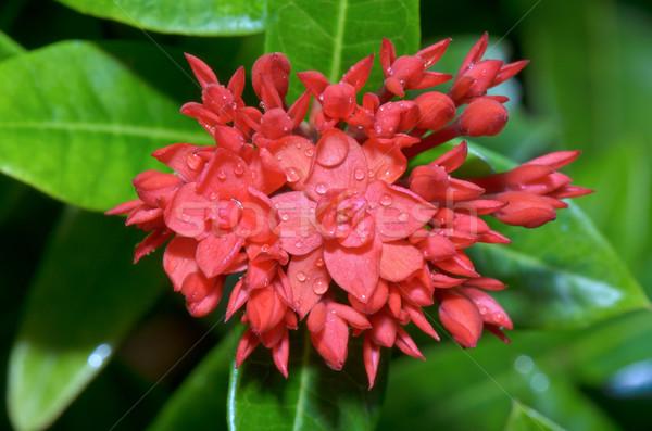 Red flower of West Indian Jasmine ( Ixora chinensis Lamk ) Stock photo © Yongkiet