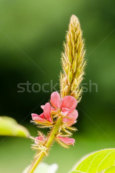 Pequeno flor-de-rosa prado Tailândia flor Foto stock © Yongkiet