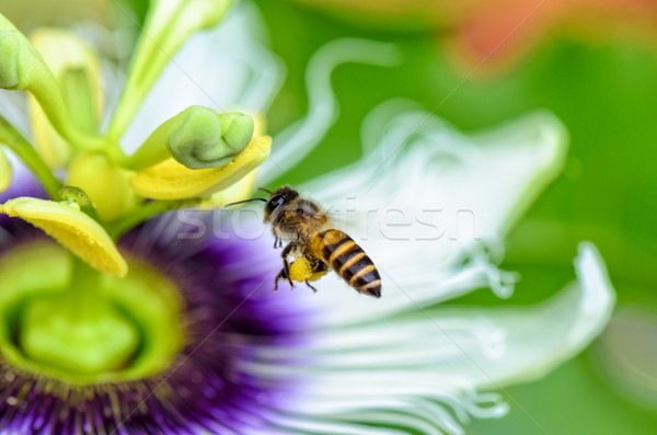 Bee flying over flowers Stock photo © Yongkiet