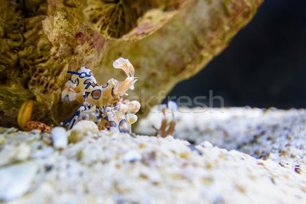 Karides tür tuzlu su mercan deniz güzellik Stok fotoğraf © Yongkiet
