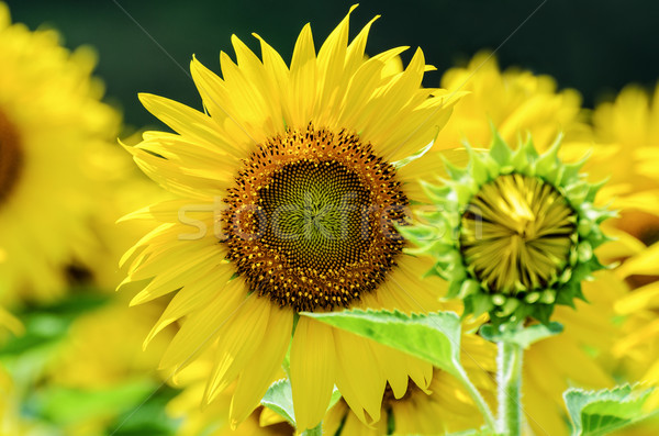 Sunflower or Helianthus Annuus in the farm Stock photo © Yongkiet