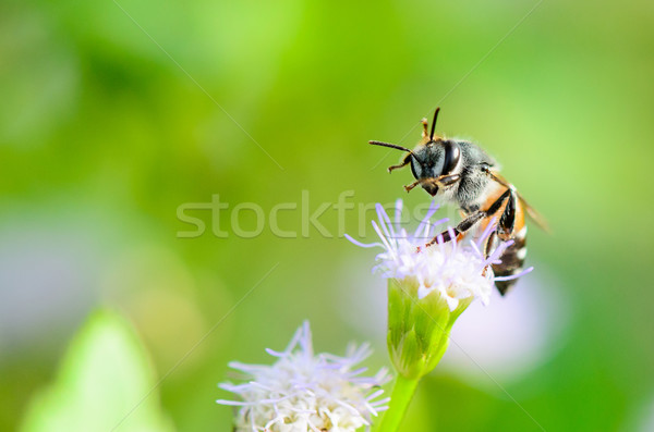Small bees are clean legs and mouth Stock photo © Yongkiet