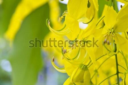 Close up Purging Cassia or Ratchaphruek flowers ( Cassis fistula Stock photo © Yongkiet