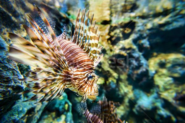 Lionfish or Pterois miles Stock photo © Yongkiet