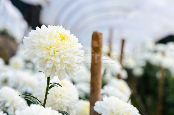 Beyaz krizantem çiçekler bahçe dağ ışık Stok fotoğraf © Yongkiet