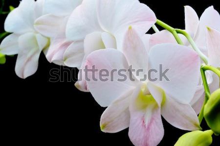 букет орхидеи цветок изолированный черный лист Сток-фото © Yongkiet