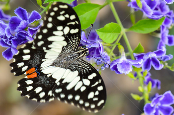 Papilio demoleus black and white spots butterfly Stock photo © Yongkiet