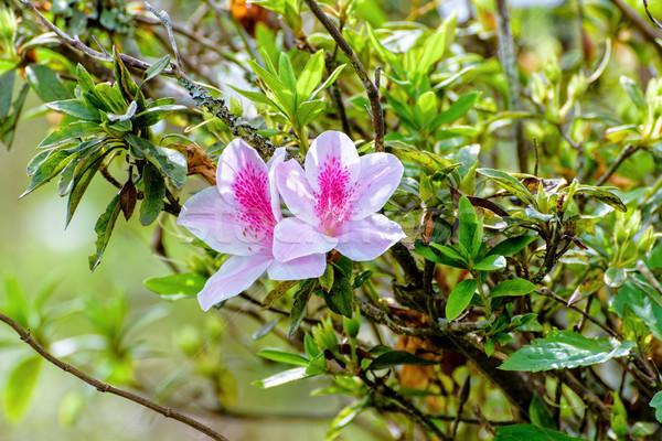 Azalea mooie witte bloem roze streep boom Stockfoto © Yongkiet