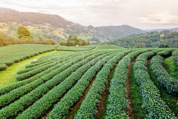 Landscape of green tea plantation Stock photo © Yongkiet