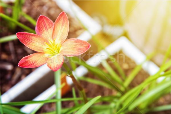 Flor belo amarelo pólen flor-de-rosa luz solar Foto stock © Yongkiet