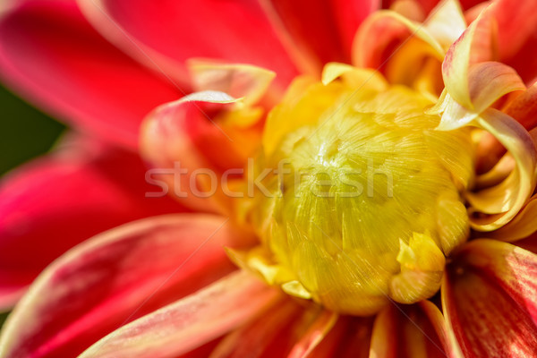 Milieu dahlia fleur belle groupe Photo stock © Yongkiet