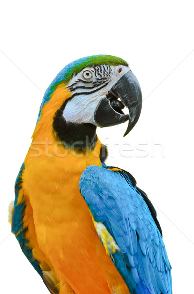 Blue and Gold Macaw colorful birds isolated on white Stock photo © Yongkiet