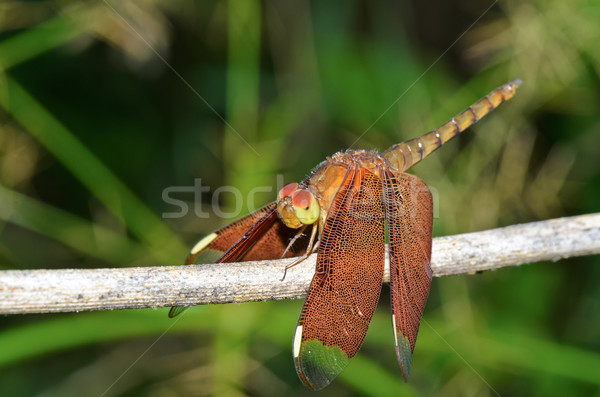 Russet Dragonfly or Neurothemis Fulvia female Stock photo © Yongkiet