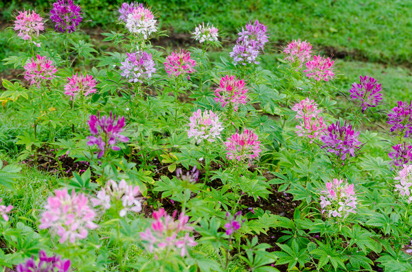 Garden flowers of Cleome with multi-colored Stock photo © Yongkiet
